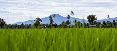 Paddy fields in Lampung