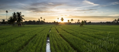 Local paddy fields